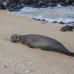 Hawaiian monk seals