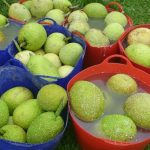 breadfruit Kauai