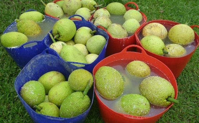 Cultivate Breadfruit U0026 Beautify Botanical Garden At Kauai   Travel2change
