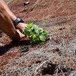 volunteer to remove invasive plant at Waimea valley