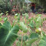 plant and grow vegetables at Maui